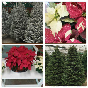 Christmas Trees Corpus Christi